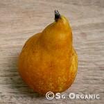 Pear_bosc_sgo