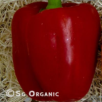 capsicum red_sgo